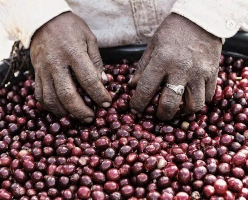 Panaméens ramasseurs de café (4)
